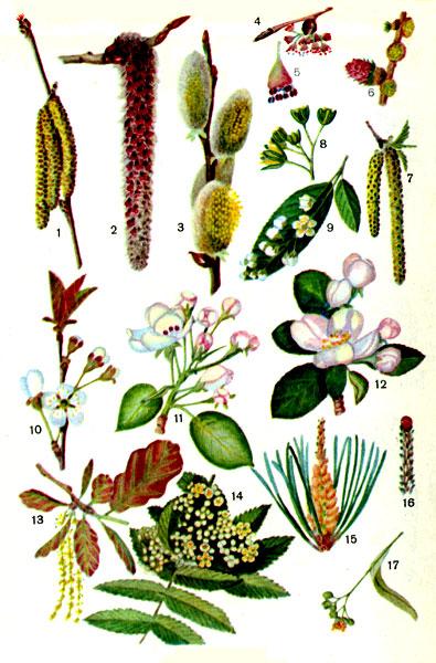 Таблица III. Цветение (начало): 1 — лещина обыкновенная (тычинковые соцветия-сережки; из верхней почки выдвинулись рыльца пестичных цветков); 2 — осина (тычинковое соцветие-сережка); 3 — ива бредина (тычинковые соцветия); 4 — вяз обыкновенный; 5 — вяз обыкновенный (рисунок цветка увеличен; потемневшие пыльники после высыпания пыльцы); 6 — лиственница сибирская (а — женское соцветие шишечка; 6 — тычинковое соцветие); 7 — береза бородавчатая (а — тычинковые сережки; б — пестичная сережка); 8 — клен остролистный (часть соцветия); 9 — черемуха обыкновенная; 10 — вишня; 11 — груша; 12 — яблоня; 13 — дуб черешчатый (тычинковые сережки; темные пыльники после высыпания пыльцы); 14 — рябина обыкновенная; 15 — сосна обыкновенная (тычинковое соцветие); 16 — побег сосны с женским соцветием (шишечка); 17 — липа мелколистная