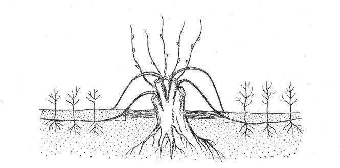 Рис. 12. Размножение отводками
