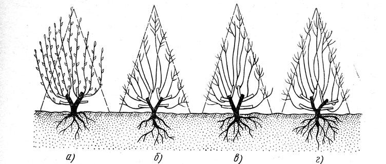 Обрезка саженцев кустарников