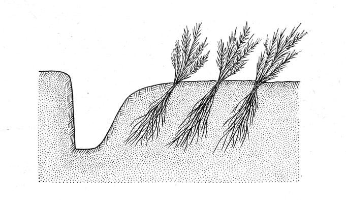 Схема прикопки сеянцев