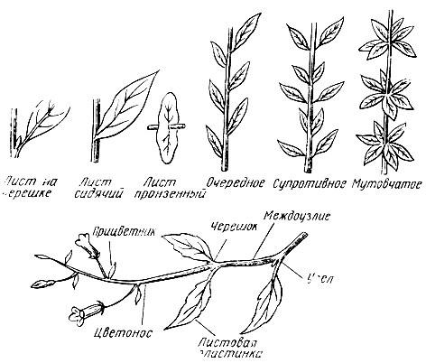 Расположение листьев на побеге