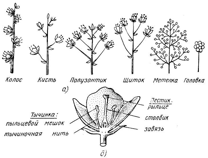 Типы соцветий (а) и схема