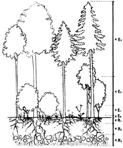 леса: Ео - ярус мхов,