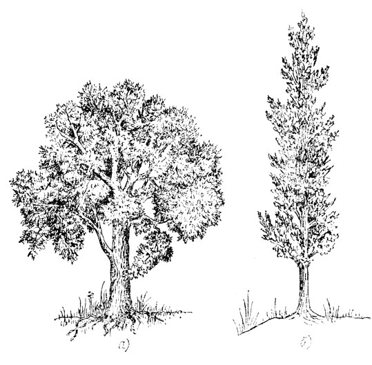 Рис. 1. Виды стволов деревьев: а - сбежистый, б - полнодревесный