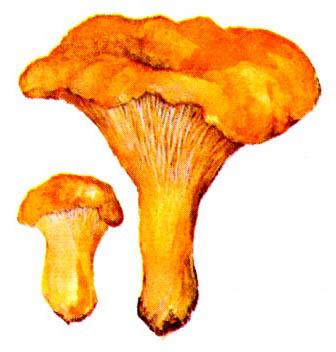 Определитель грибов маслят