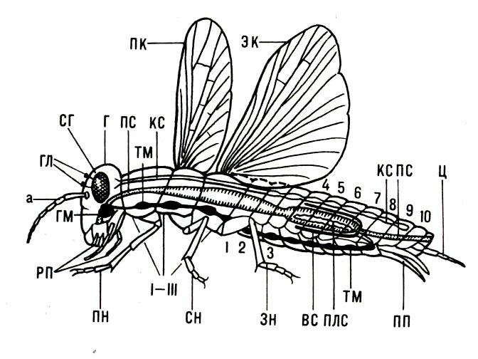 Строение тела насекомого(схема