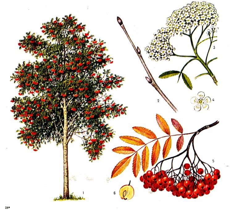 ... с листьями и соцветиями, 4 - цветок, 5: dendrology.ru/forest/item/f00/s00/e0000908/index.shtml