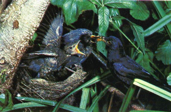 Как кормить птенца дрозда в домашних условиях 416