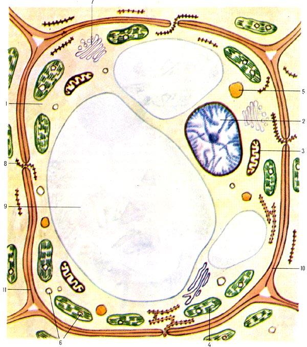 Схема строения растительной клетки 1