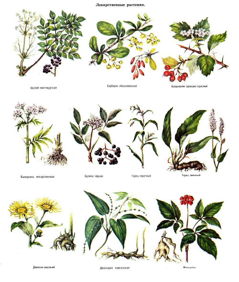 лекарственные растения от паразитов